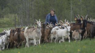 Helena Wroblewska parmi ses chèvres sur les terres de sa ferme dans la région de la Mazurie (nord-est de la Pologne), le 15 mai 2020
