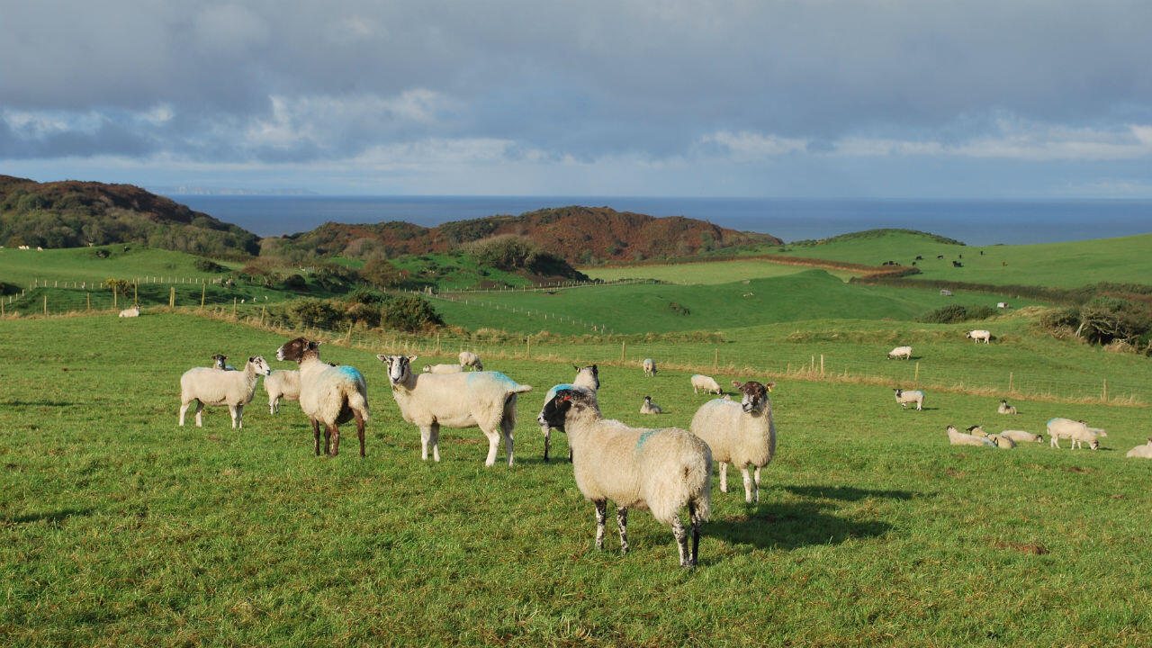 Des moutons d'élevage paissent le long du sentier côtier du sud-ouest, à North Devon, en Angleterre, le 16 octobre 2019.