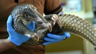 The little-known pangolin is the world's most trafficked and poached mammal because of the demand for its meat and scales