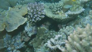 Les coraux madréporaires.