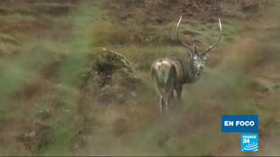 Un ciervo es visto por un grupo de cazadores en Escocia.