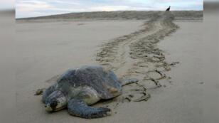 Foto de archivo de una tortuga marina olivácea (Lepidochelys olivacea) dejando huellas en la arena después de poner sus huevos en la playa Escobilla, Mazunte, 18 de noviembre de 2006.