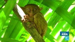 2020-01-28 15:24 Endangered wildlife: Saving the Tarsier, Philippines' tiny primate