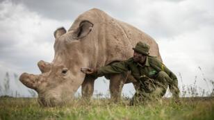 Fatu, l'une des deux femelles survivantes de l'espèce.