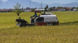 Un agriculteur dans une rizière de Lambaro, dans la province d'Aceh en Indonésie, le 22 septembre 2020