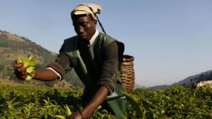 Un agriculteur récolte du thé dans le village de Milundi, au nord du Rwanda.