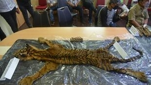 Police displayed a confiscated tiger skin along with teeth and bones taken from the suspected traffickers