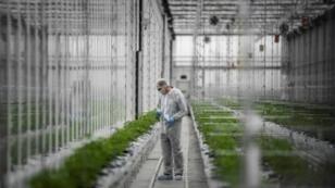 Un travailleur contrôle des plants de cannabis dans une serre du site de production européen du producteur canadien de cannabis Tilray, à Cantanhede, au Portugal, le 24 avril 2018