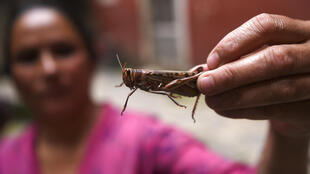 Nepal is offering farmers cash rewards for catching locusts instead of using pesticides