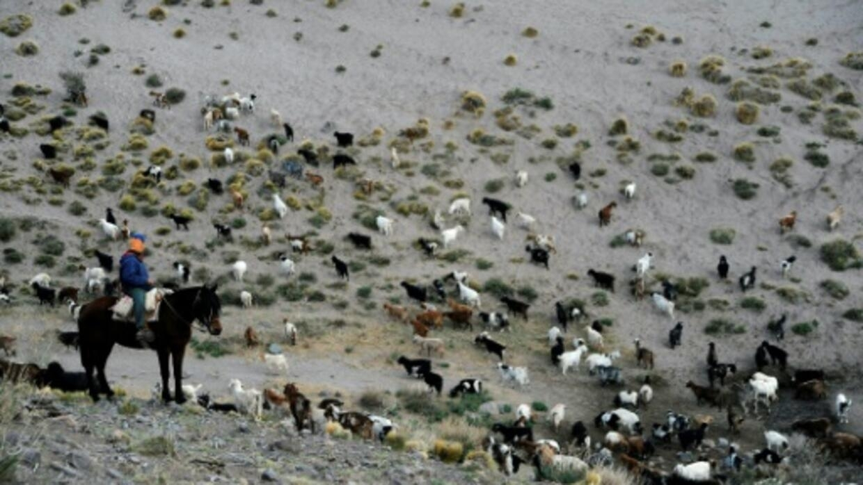 Goat farmers at climate change frontline in Argentina's wine belt