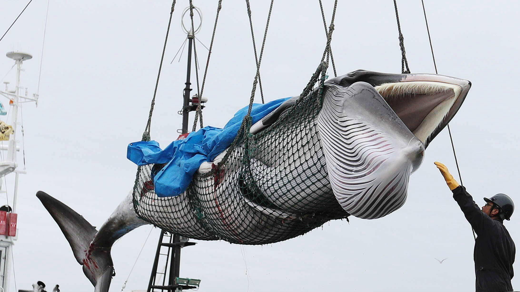 Una ballena Minke es descargada de un barco en el puerto de Kushiro en Japón este lunes. Las autoridades de Japón anunciaron que desde este lunes y hasta fin de año sus barcos capturarán 227 ballenas con fines comerciales, por primera vez desde 1982, después de que el Gobierno decidiera retirarse de la Comisión Ballenera Internacional (CBI).