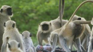 Les singes se réunissent autour du singe-espion qu'ils croient mort.