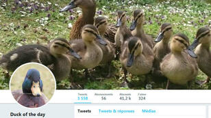 "Capture d'écran du compte Twitter ""Duck of The Day""."