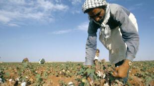 Un homme ramasse du coton près de Taftanaz, en Syrie.