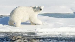 D'après Rémy Marion, réalisateur de documentaires animaliers, il y aurait entre 20 000 et 25 000 ours polaires sur Terre.