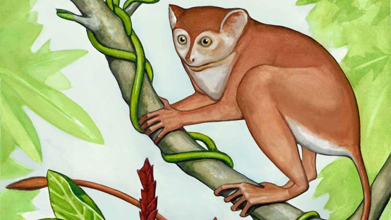 L'Archicebus Achilles, un primate cousin de notre ancêtre, était lui aussi plutôt bon sauteur.