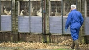مزرعة دجاج في فرنسا