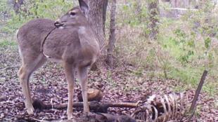 Un cerf de Virginie en train de mâcher les restes osseux d'un corps humain.