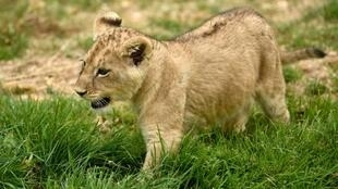 """A lion cub born on April 15, 2017 is pictured inside the new enclosure """"La Terre des Lions"""" on June 23, 2017 at the Zooparc of Beauval"""