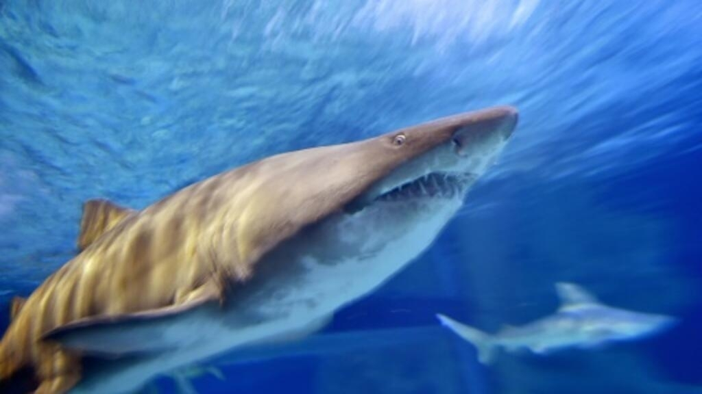 Mediterranean sharks risk 'disappearing': conservationists
