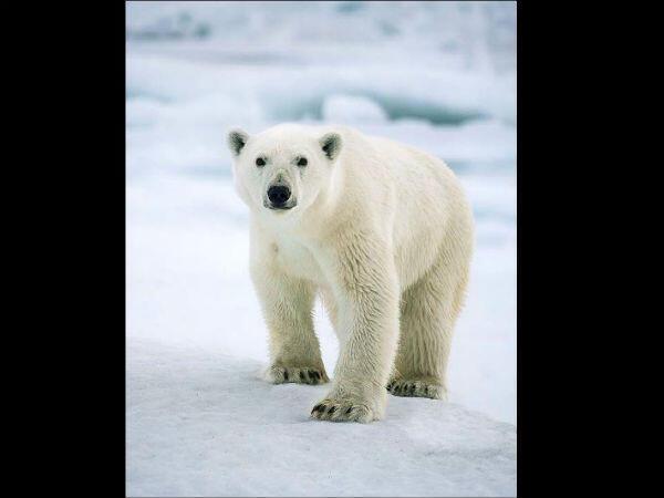 Ours polaire (Ursus maritimus), banquise canadienne