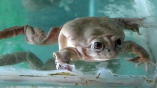 La rana gigante del lago Titicaca, el anfibio acuático más grande del mundo, mide 145 mm de largo como mínimo, y puede alcanzar los 500 mm, según reseñó en 1970 el científico francés Jacques Cousteau
