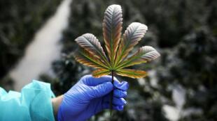 Un empleado tiene una hoja de una planta de cannabis medicinal en Pharmocann, el 24 de enero de 2019.