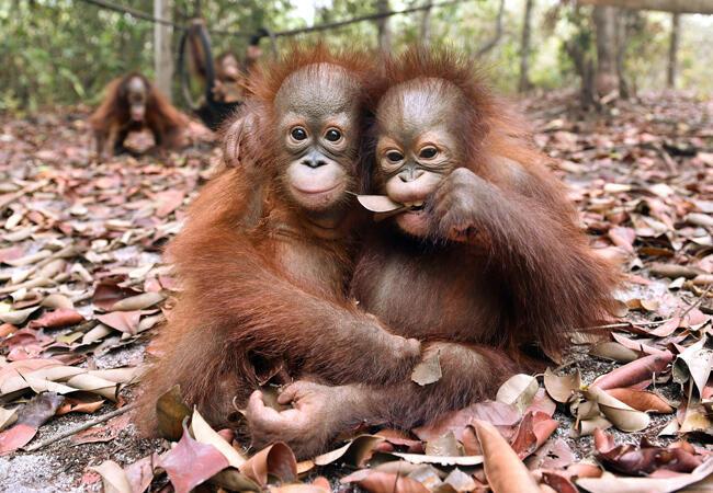 Des bébés orang-outans souffrant de problèmes respiratoires ont été reccueilis dans une association de défense des primates (la Borneo Orangutan Survival Foundation)