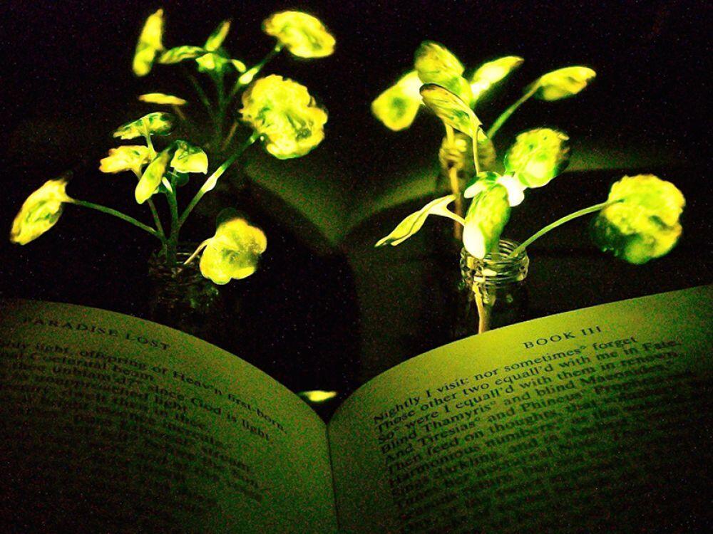 باحثون ينتجون نباتات مضيئة ويمكن شحنها