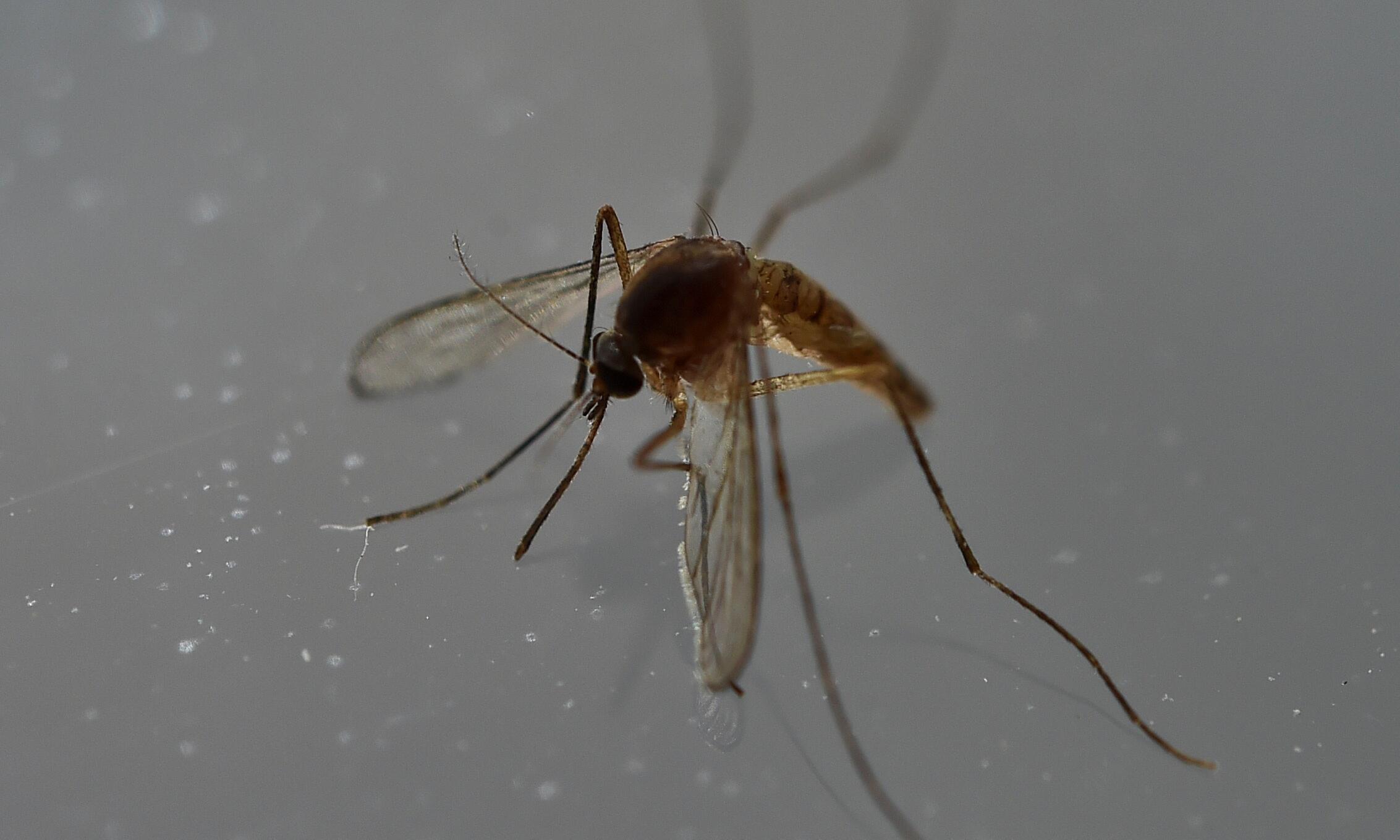 Les moustiques sont la principale cause de transmission du virus Zika.
