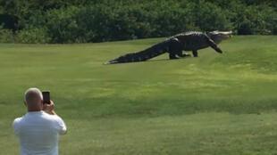 Un énorme alligator vu le 25 mai sur le parcours de golf Buffalo Creek en Floride.