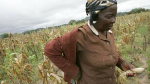 Le Zimbabwe est souvent touché par de fortes sécheresses, comme ici en 2007, où des récoltes de maïs avaient été perdues. Mais celle de 2015 est sans précédent depuis que Robert Mugabe est devenu président, en 1987.