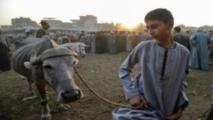 تجار الماشية وفدوا إلى بلدة أشمون في محافظة المنوفية دلتا النيل في مصر قبل عيد الأضحى لبيع الأضاحي في 30 آب/أغسطس 2017