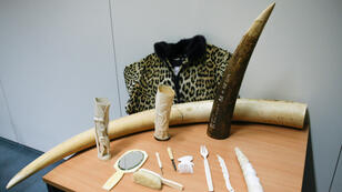 Des objets en ivoire présentés en Belgique le 4 juillet 2018 dans le cadre d'une campagne de sensibilisation contre le trafic d'ivoire.