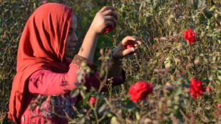 Une jeune fille récolte des roses rouges dans la région de Lahore au Pakistan.