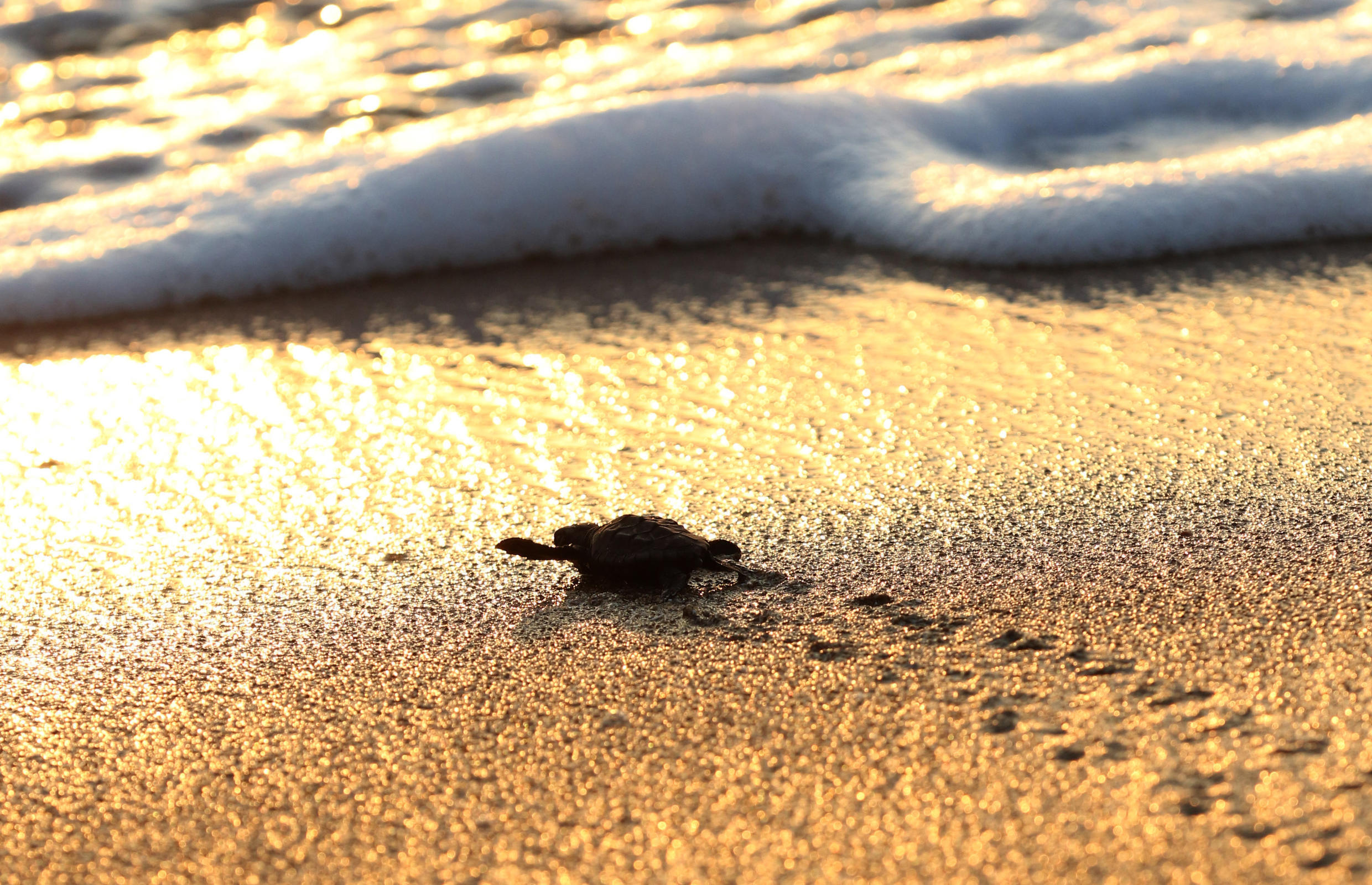 Newly-hatched loggerhead and green turtles swim into the sea in the Mansouri reserve south of Beirut on August 29, 2018.