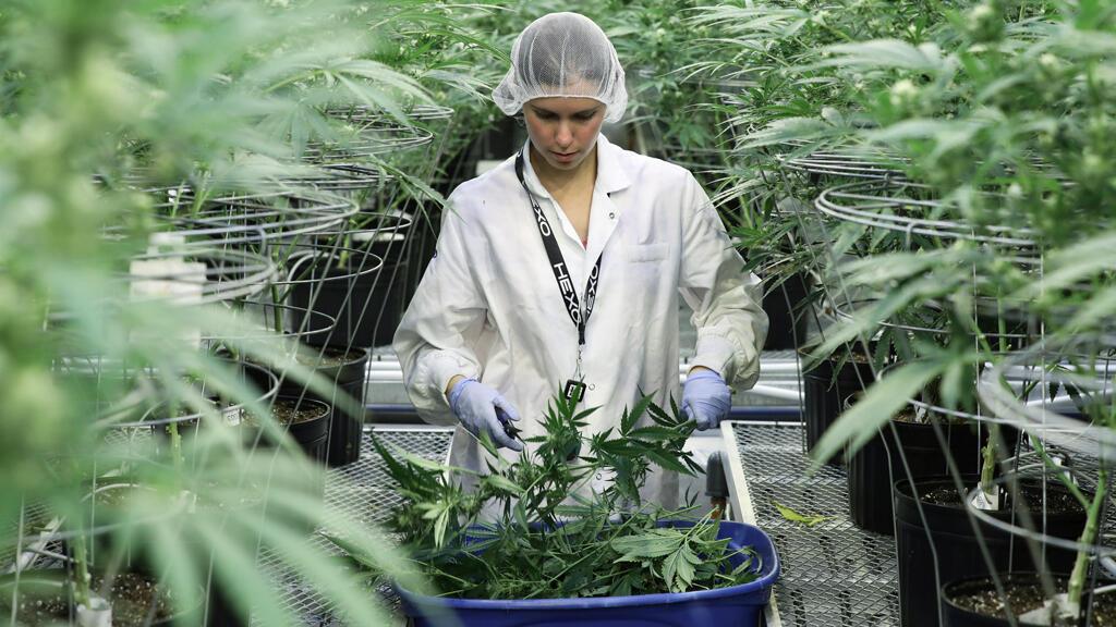 Una empleada recolecta tallos de plantas de cannabis en las instalaciones de Hexo Corp en Gatineau, Quebec, Canadá, 26 de septiembre de 2018.