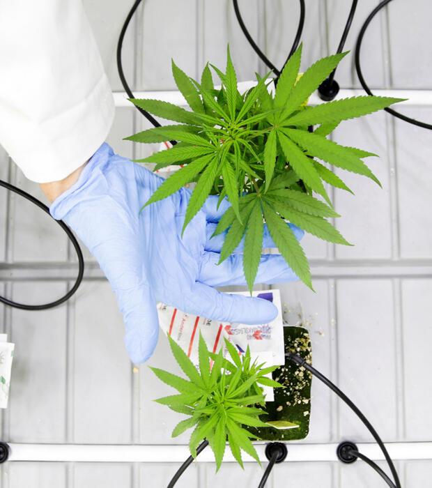 Pequeñas plantas de marihuana crecen en un laboratorio bajo el nuevo Programa de Producción de Cannabis Comercial en Niagara College en Niagara-on-the-Lake, Ontario, Canadá, 9 de octubre de 2018.