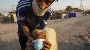 A young man holds a face mask on a sheep in the southern Iraqi port city of Basra