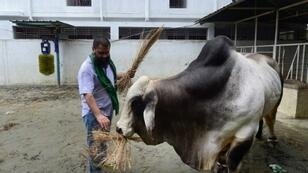 "Mohammad Imran Hossain feeds his bull, named ""Boss"", before it was sold for a record price of 3.7 million taka (US$43,750) in Dhaka as Bangladesh prepares to sacrifice a record 10 million animals to celebrate the Muslim festival of Eid al-Adha"