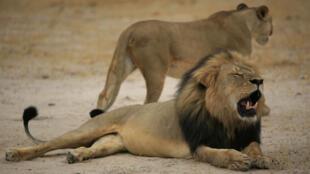 Le lion Cecil.