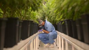 Un employé de Fotmer Life Sciences, le 27septembre2019 à Montevideo, en Uruguay, au milieu de cultures de cannabis destinées à un usage médical.